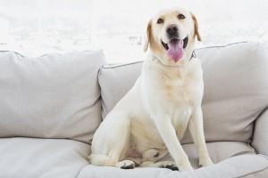 A-retriver-dog-in-an-apartment-600x400