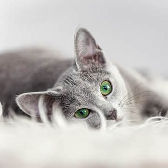 Pet Friendly Apartments Heights _cat_gray