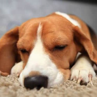 Pet Friendly Apartments Heights beagle